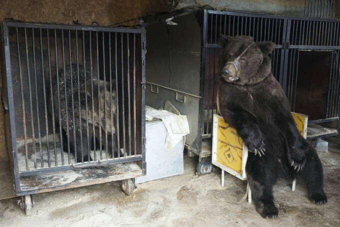 ursi Rusia