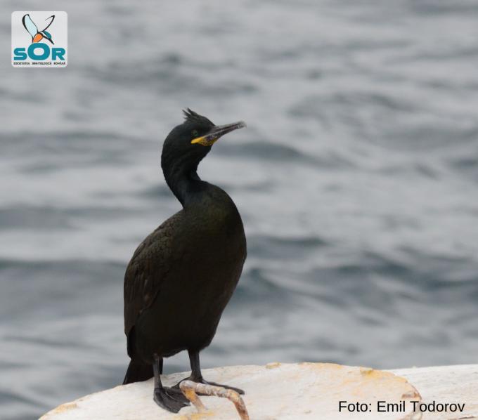 cormoranul moțat