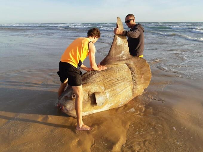 Un exemplar gigantic de peşte-lună a eşuat pe o plajă din Australia - 4