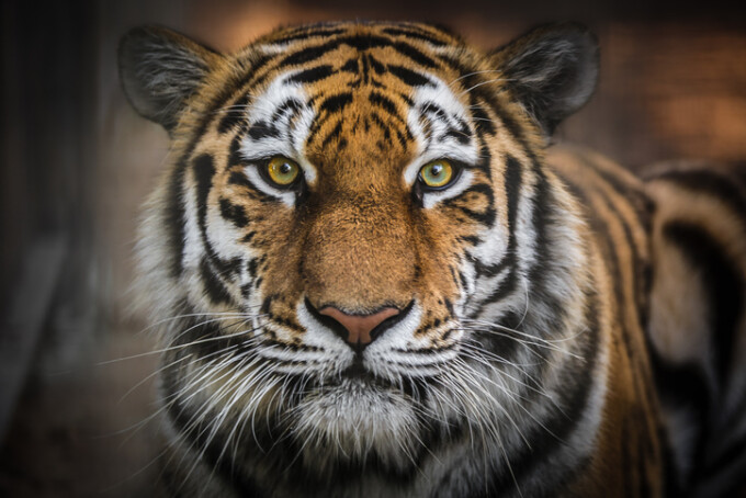 tigru Amur