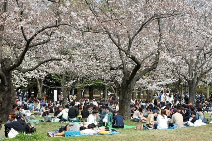 Japonezii sărbătoresc înflorirea cireșilor. Sute de tineri au ieșit la iarbă verde într-un parc din Tokyo