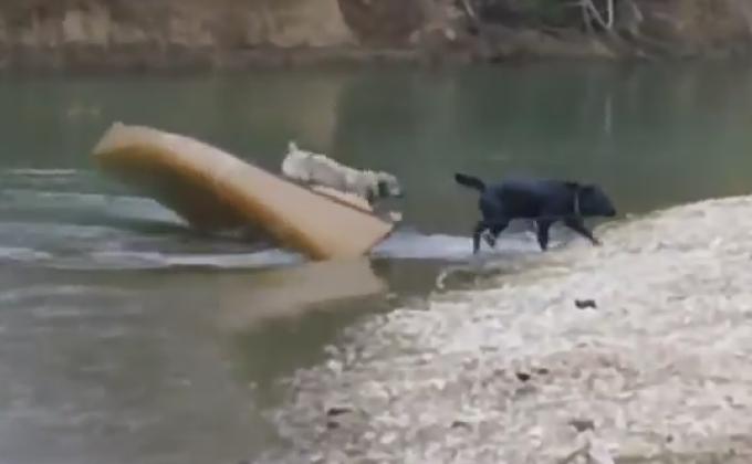 Labradorul Robbie