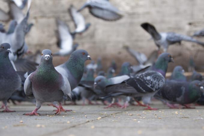 Porumbeii hraniti cu pastile contraceptive