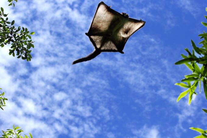 Veveriță zburatoare gigant