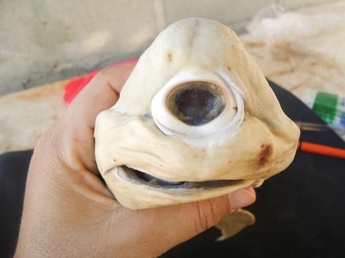 rechin ciclop