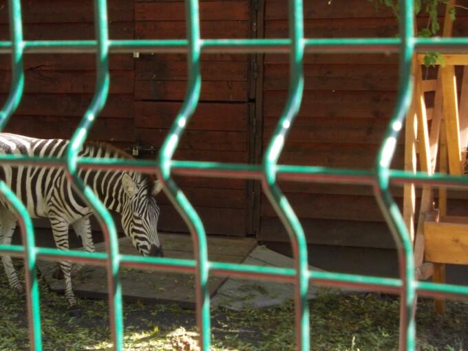 zebra, zoo timisoara