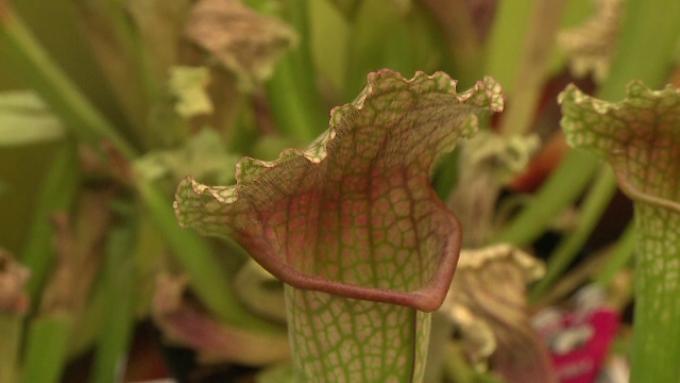 plante carnivore kaufland