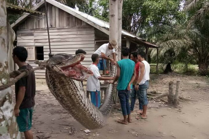 piton gigant in Indonezia