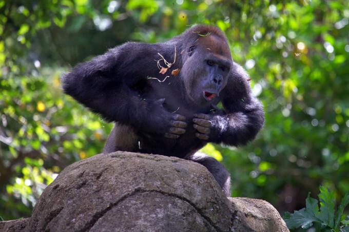 Maimuta agresiva