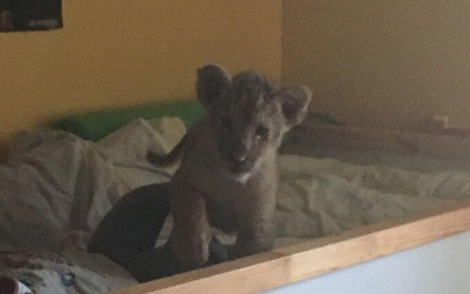 Pui de leu, găsit într-un pat de bebeluş