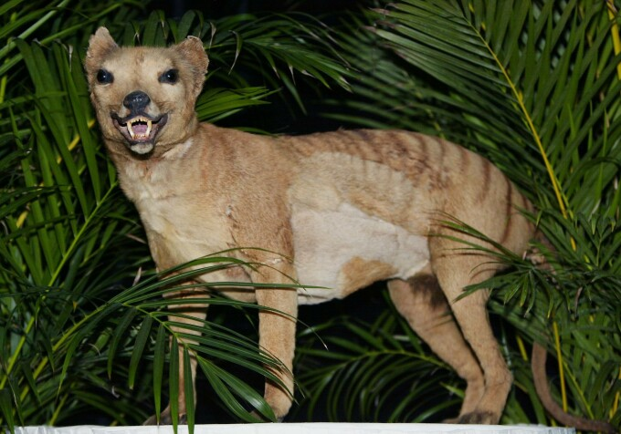 Tigrul marsupial