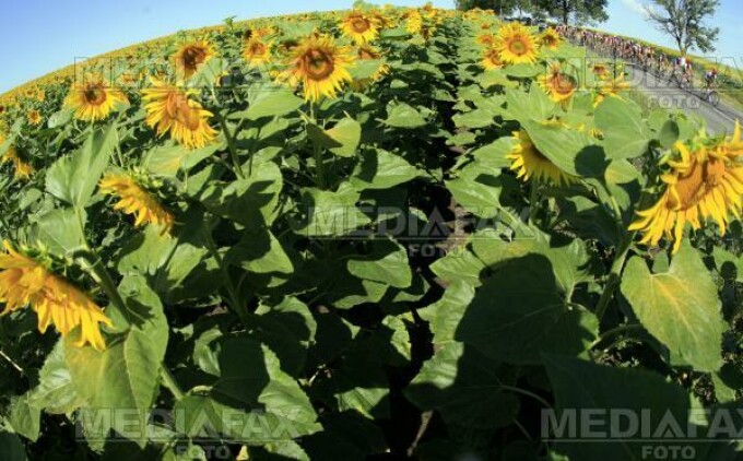 Floarea soarelui, vanduta pe preturi de nimic la Galati