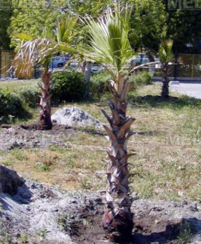 Palmierii vor sta in scoala pe timpul iernii