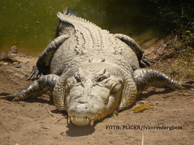 crocodil din Australia