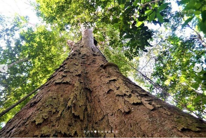 cel mai înalt copac din pădurea amazonuluiC