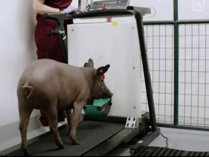 porcul gertrude, neuralink