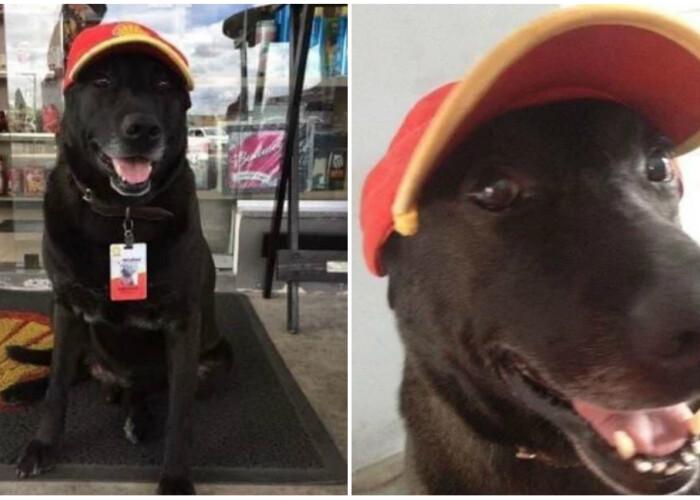 Un labrador abandonat a fost gasit de o femeie care l-a angajat! Ce job are acest caine: Toata lumea il iubeste!