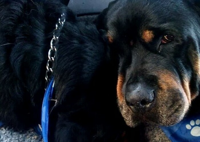 Brutus, un caine din rasa rottweiler, isi plange fratele mort! VIDEO