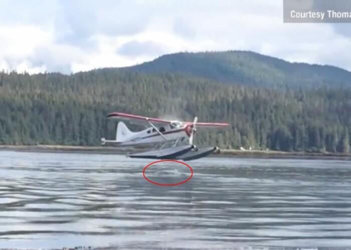 Un hidroavion a fost pe punctul de a ateriza pe o balena! VIDEO