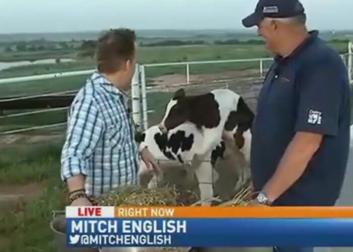 Moment genial in direct la TV! Ce faceau doua vaci in spatele prezentatorilor! VIDEO