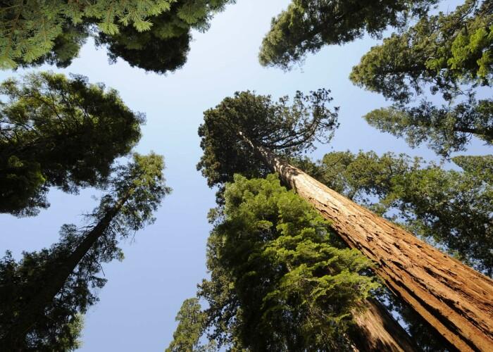 Are o vechime de 2.300 - 2.700 de ani: Asa arata Cel mai mare copac, ca volum, din lume! VIDEO