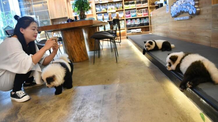 """""""Falși panda"""" într-o cafenea din China. Ce erau de fapt animalele"""