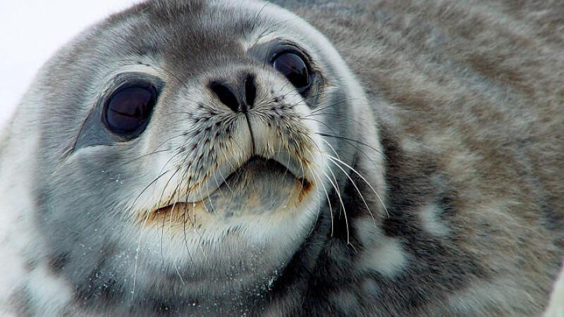 Pui de foca