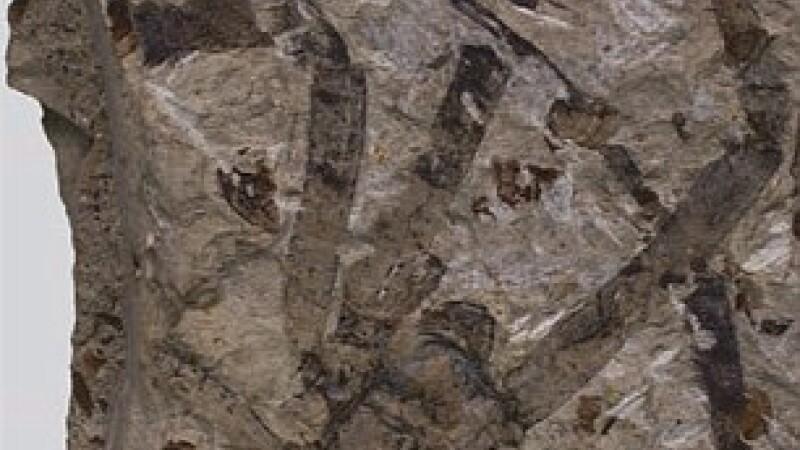 Fosila paianjen