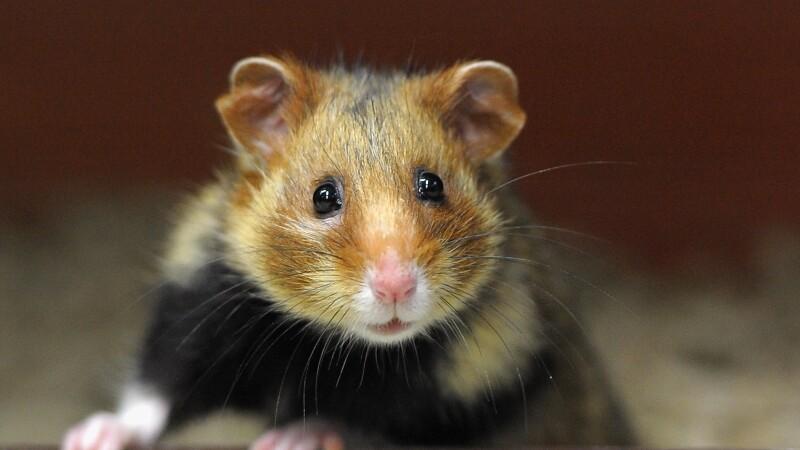 FOTO. Hamsterul care a INVIAT dupa ce a fost ingropat. Stapanii i-au schimbat numele in