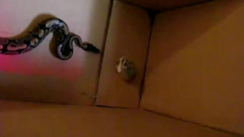 sarpe hamster