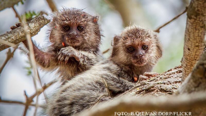 maimute marmoset FOTO FLICKR