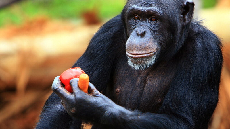 cimpanzeu getty