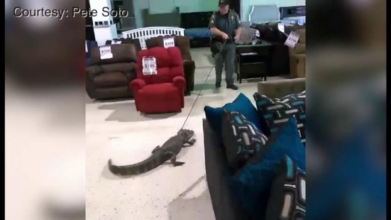 Un aligator de un metru si jumatate si-a facut aparitia intr-un magazin de mobila din Florida. Ce s-a intamplat cu reptila