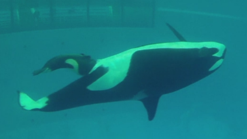 O balena a nascut intr-un bazin de la parcul acvatic din Texas. Momentul a fost filmat