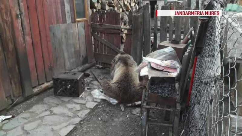 urs in curtea casei