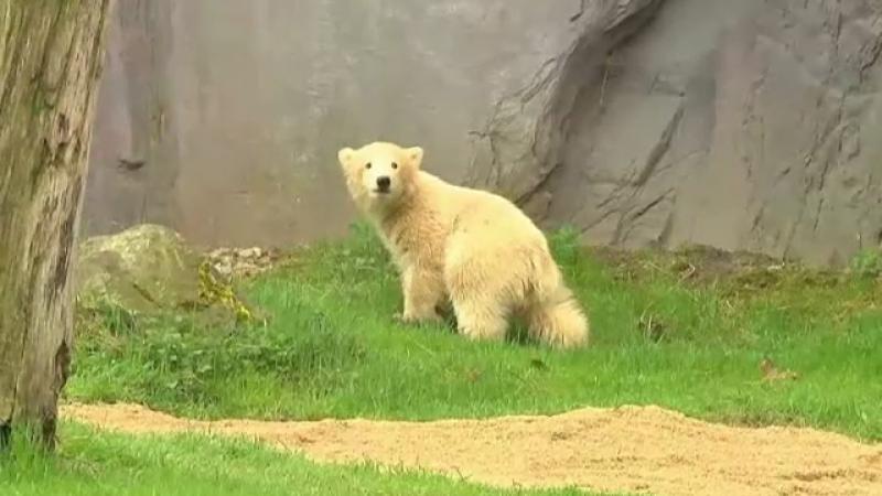 Картинки по запросу ursulețul polar Tonya