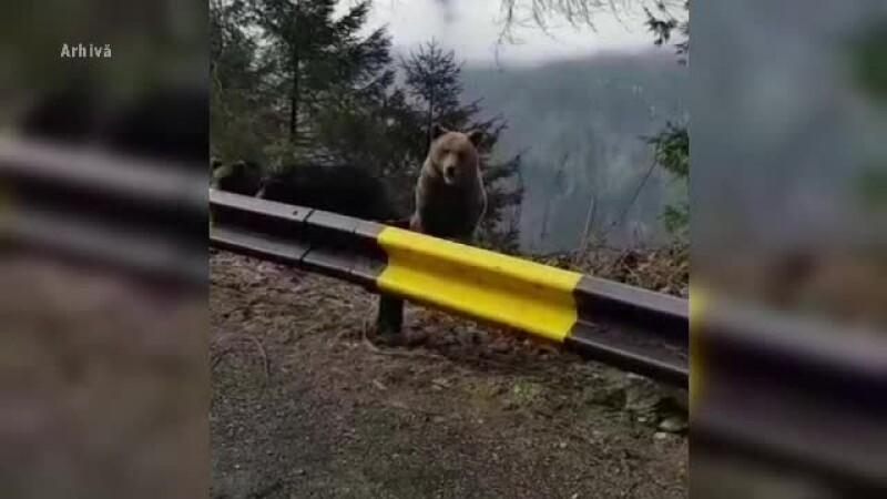 """Doi turiști s-au """"întâlnit"""" cu ursul, în Bușteni. Au scăpat cățărându-se într-un brad"""