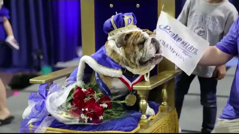 Beau a fost încoronat. Cum arată cel mai frumos buldog din SUA