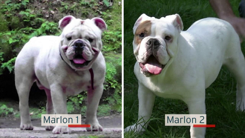 """Suma uriașă plătită de un cuplu ca să-și cloneze câinele. """"Vechiul Marlon s-a întors"""""""
