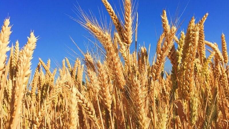 România și-a asigurat rezerva de pâine pe timpul pandemiei. Recolta va fi însă foarte proastă din cauza secetei