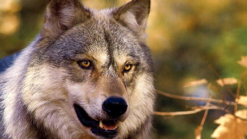 Bacău: patru oameni eu fost muşcaţi de un lup turbat