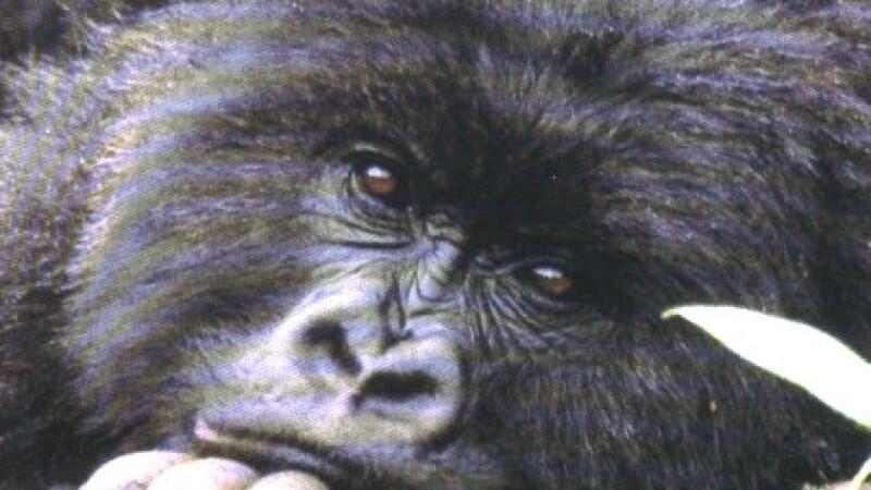 Durere de mamă: o gorilă umblă în braţe cu puiul ei mort