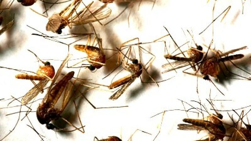 Primul caz de infectare cu virusul West Nile, confirmat la Galati