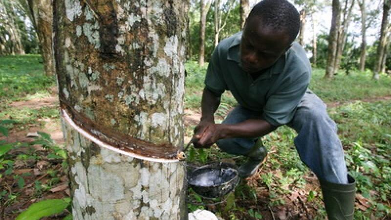 Recoltarea cauciucului natural pe o plantatie din Africa