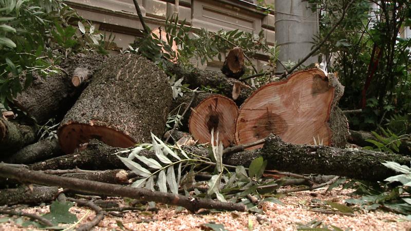 copac cazut, timisoara