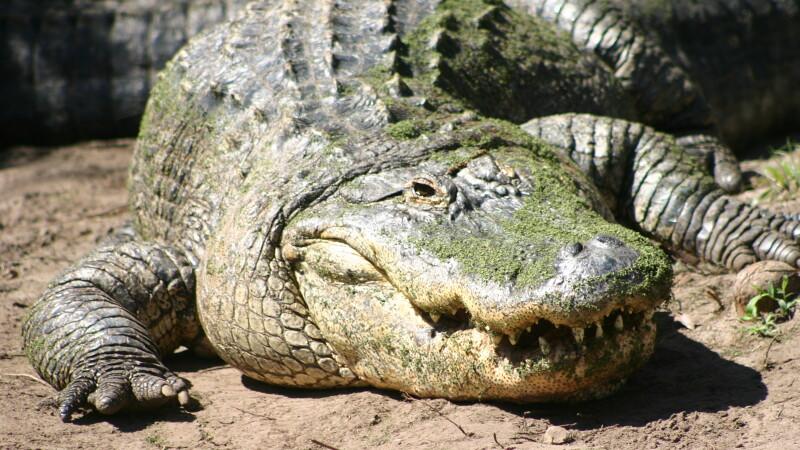 Ce au descoperit oamenii in stomacul celui mai mare aligator capturat acum o saptamana, in SUA