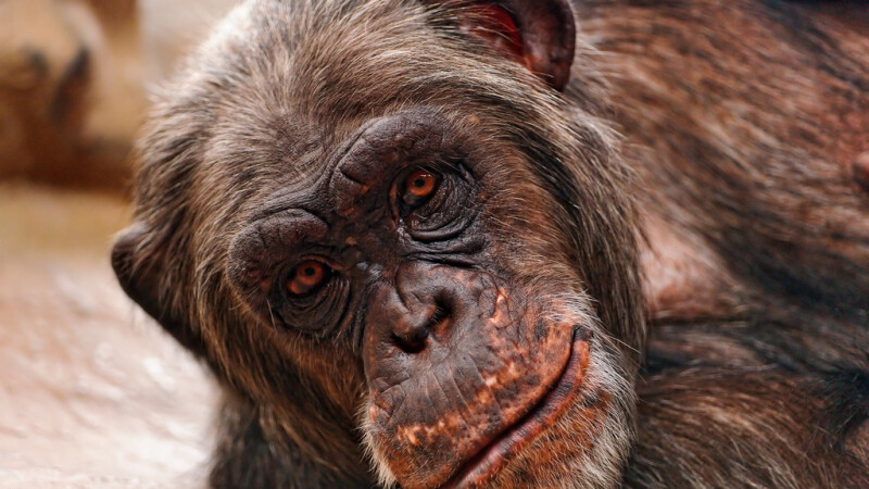 cimpanzeu batran intins pe jos cu o privire inteligenta