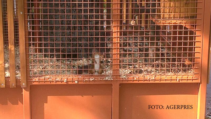Veveritele din Bistrita au evadat din cusca de 4.000 de euro. Viceprimarul a dezvaluit ca aveau si contract de