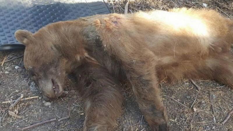 Urs ucis