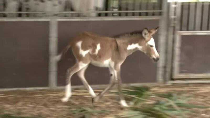 zebra magar